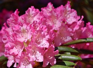 Rododendrony - wszystko co musisz wiedzieć
