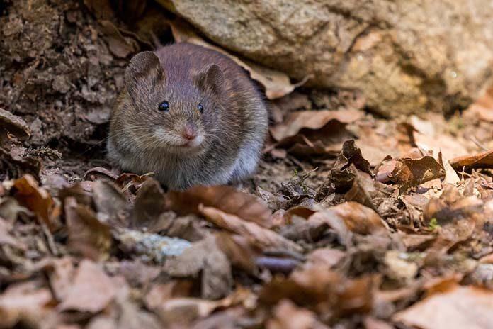 Jak pozbyć się szczurów