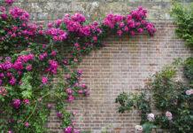 10 najładniejszych pnączy ozdobnych do ogrodu